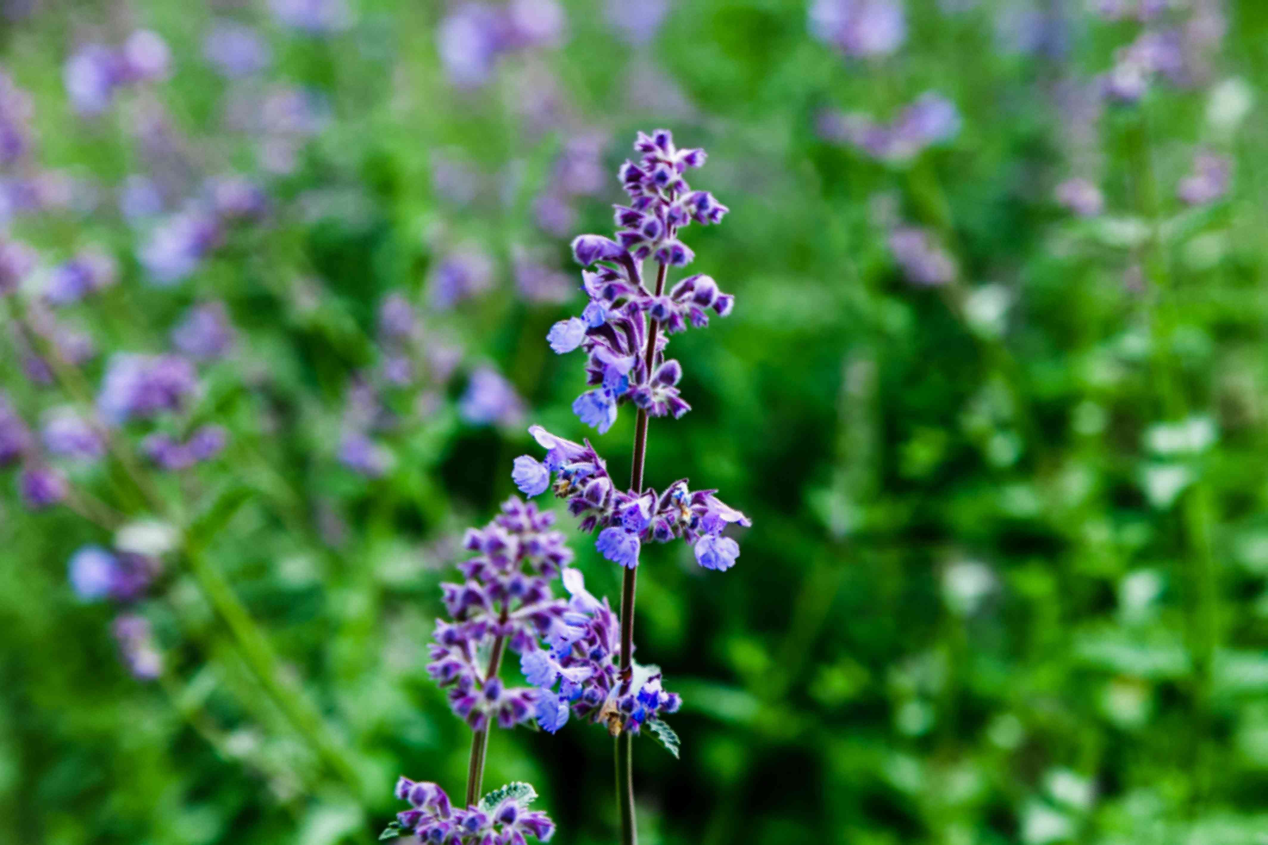 Catmint plant spike with small lavender-blue flowers and buds closeup