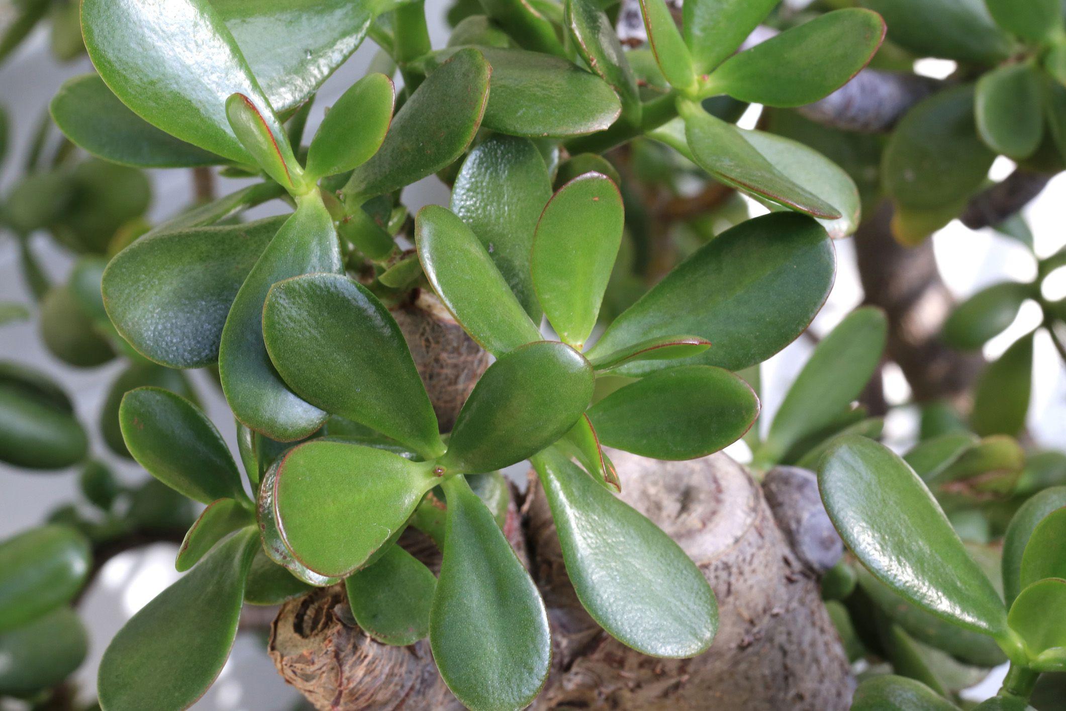 Crassula Plants Growing Profile
