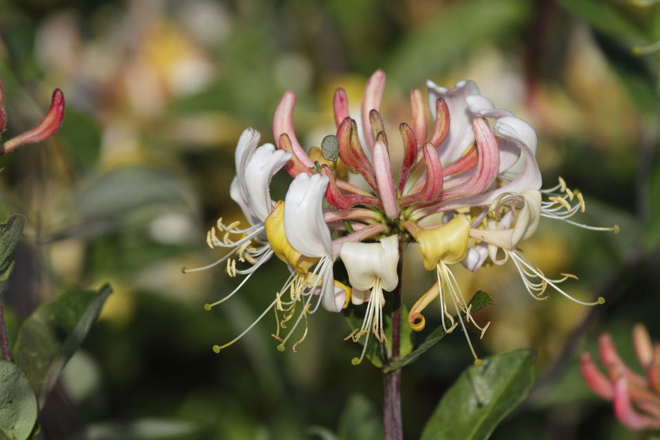 Wild honeysuckle (Lonicera periclymenum) produces sweetly scented flowers on a vine. Photo taken at Mitcham Common in Surrey, UK.