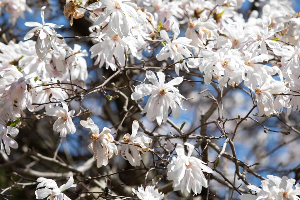 Star magnolia tree branches with white star-shaped flowers in sunlight
