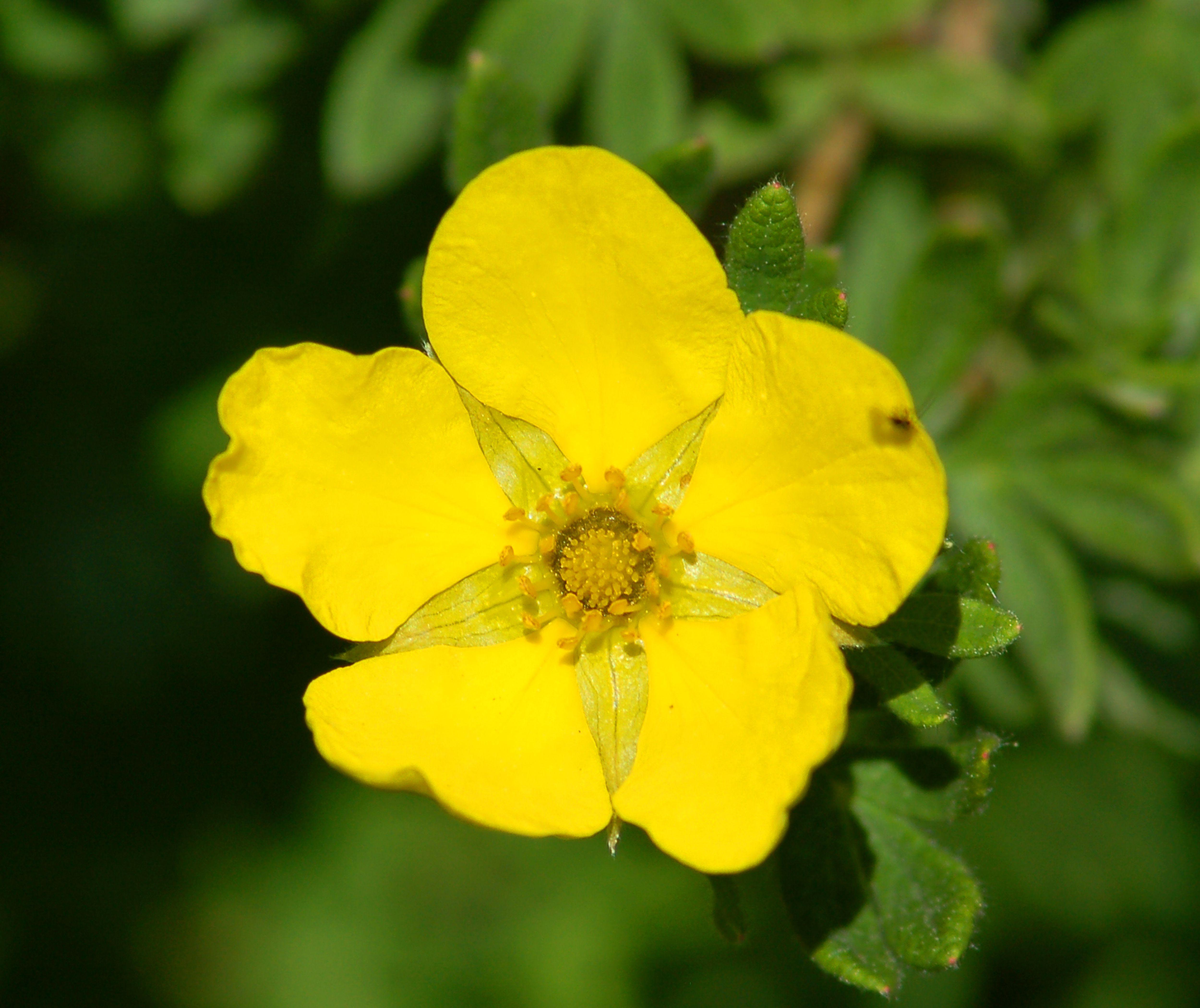 Yellow Potentilla in bloom.