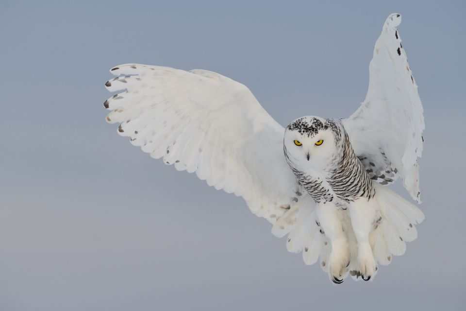 Snowy owl hovering, bird in flight