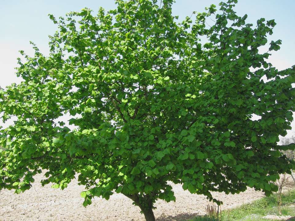 A hazel tree in Tuscany