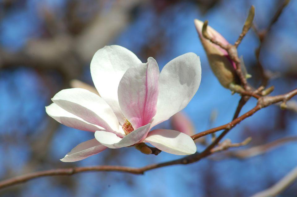 Alexandrina es un plato de magnolia (imagen). Es uno de los muchos árboles en el campus de la universidad Smith.