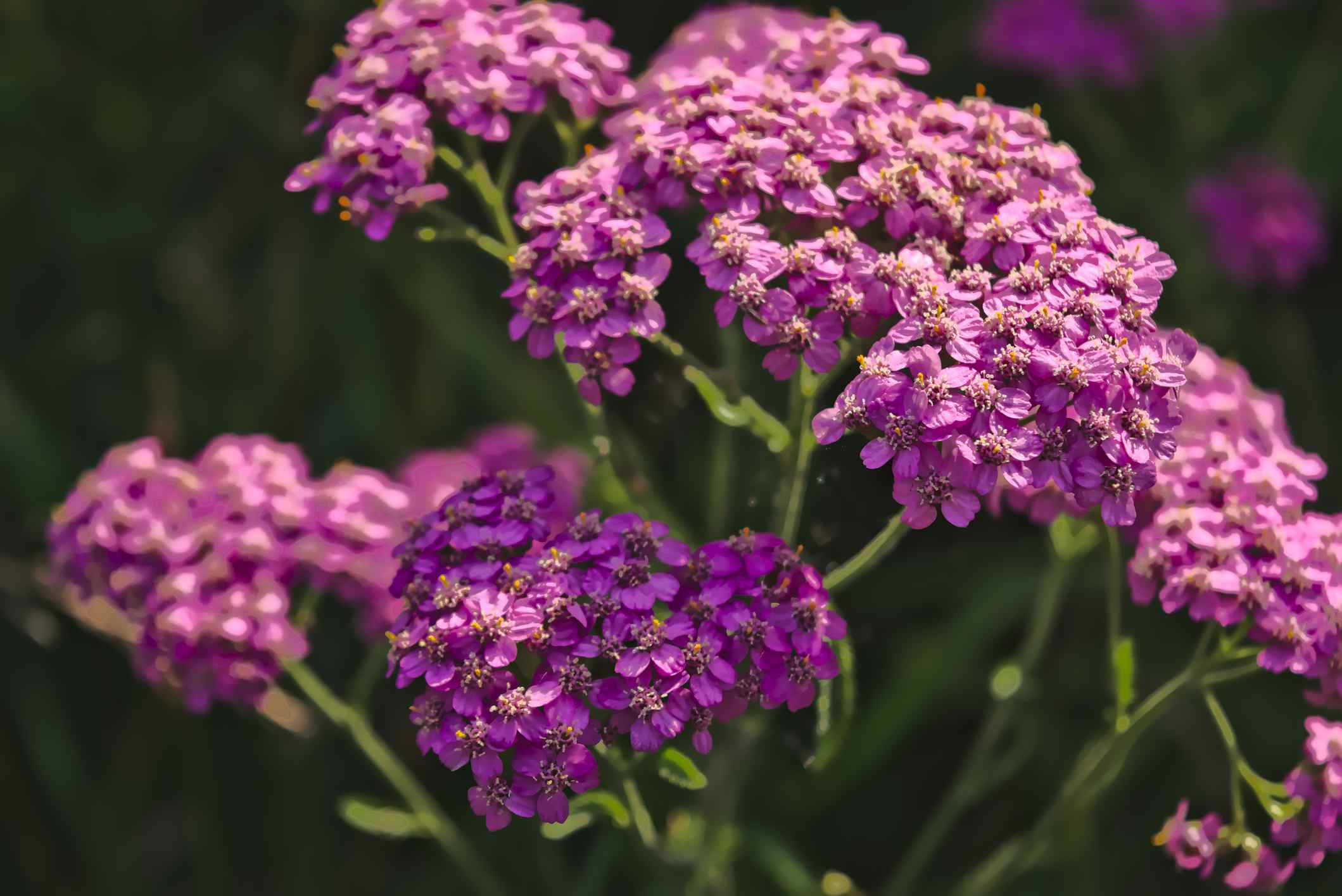 Yarrow plant with pink flowers.