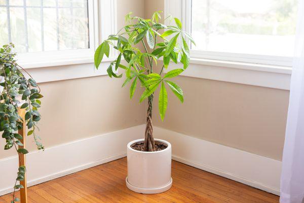 money tree indoors