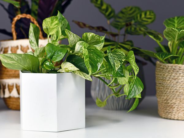 A marble queen pothos in a white geometric pot with houseplants in the background.