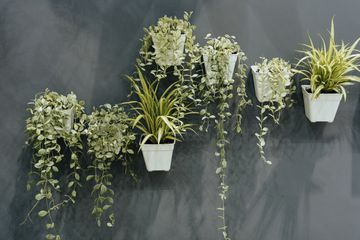 Green houseplants mounted on a wall in white plastic pots.