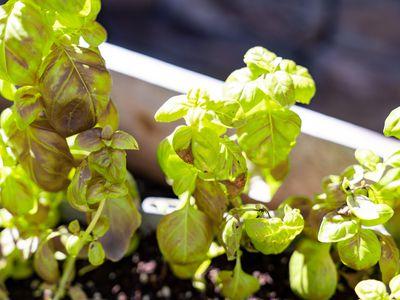 Basil downy mildew in sunlight