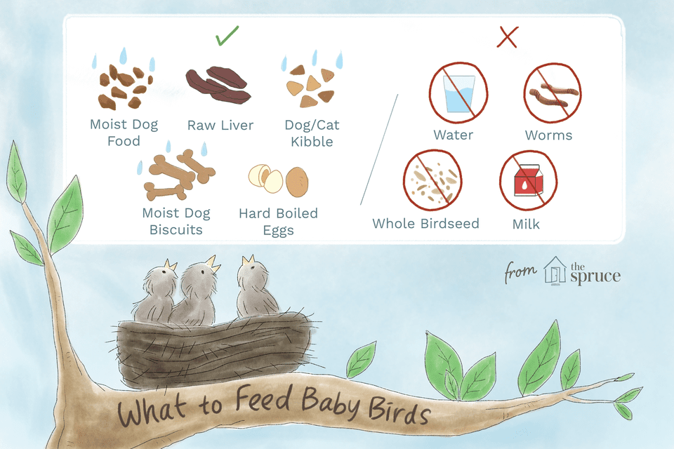 Illustration of what food to feed and not feed baby birds