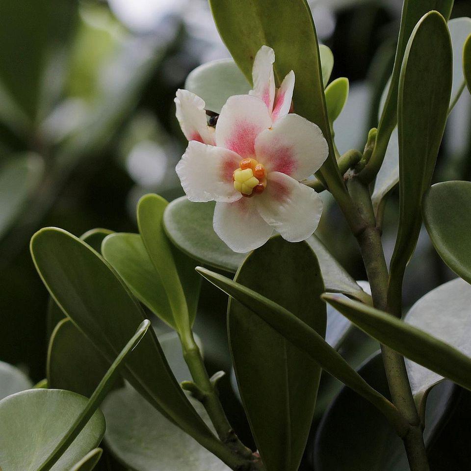 Clusia plants