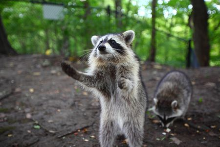 Wildlife Safety Tips: Raccoons