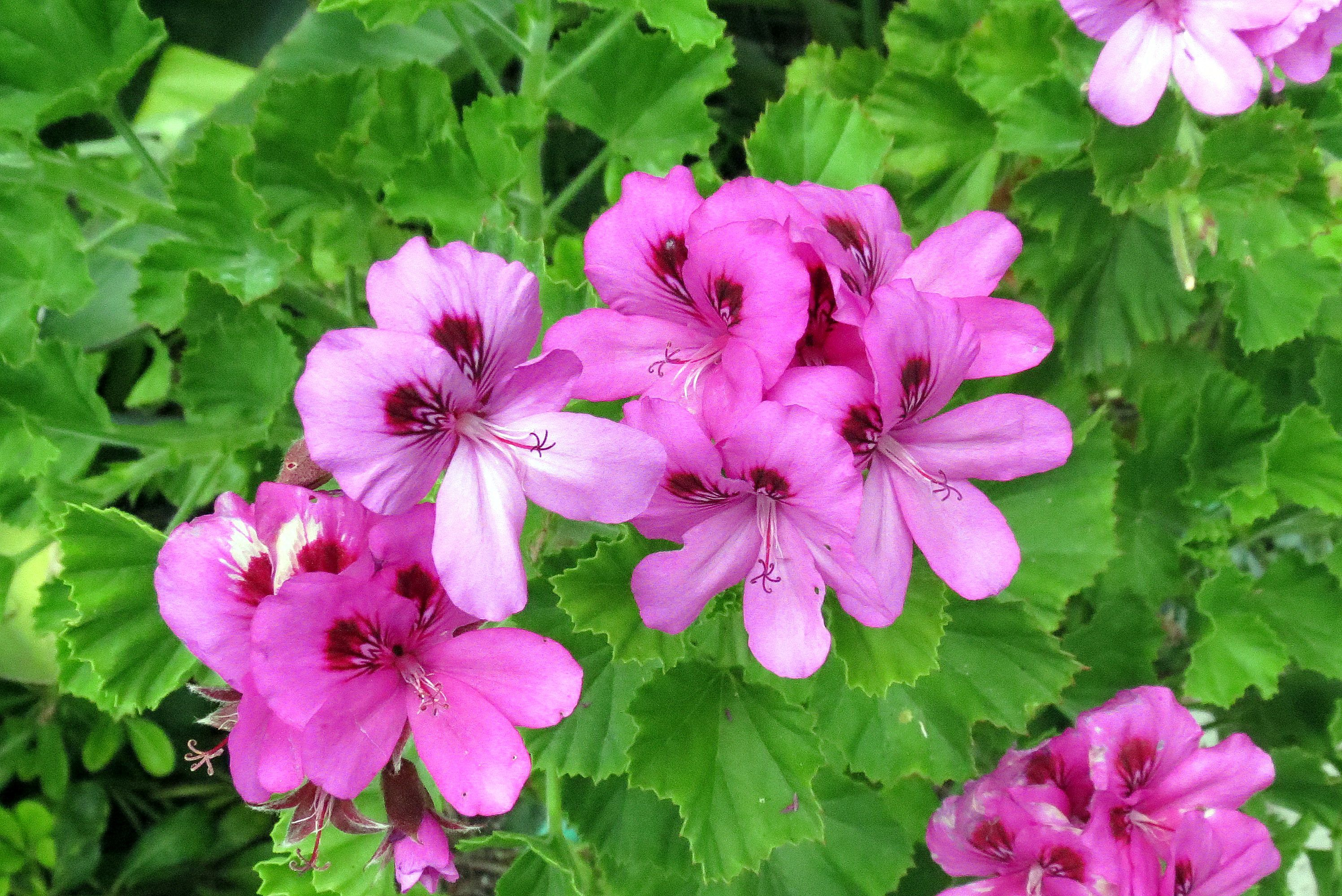 Geranio de Martha Washington con flores rosadas