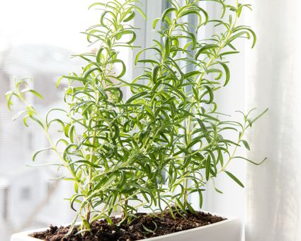 Rosemary Plants Care And Growing Guide