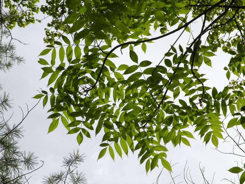 Black ash (Fraxinus nigra)