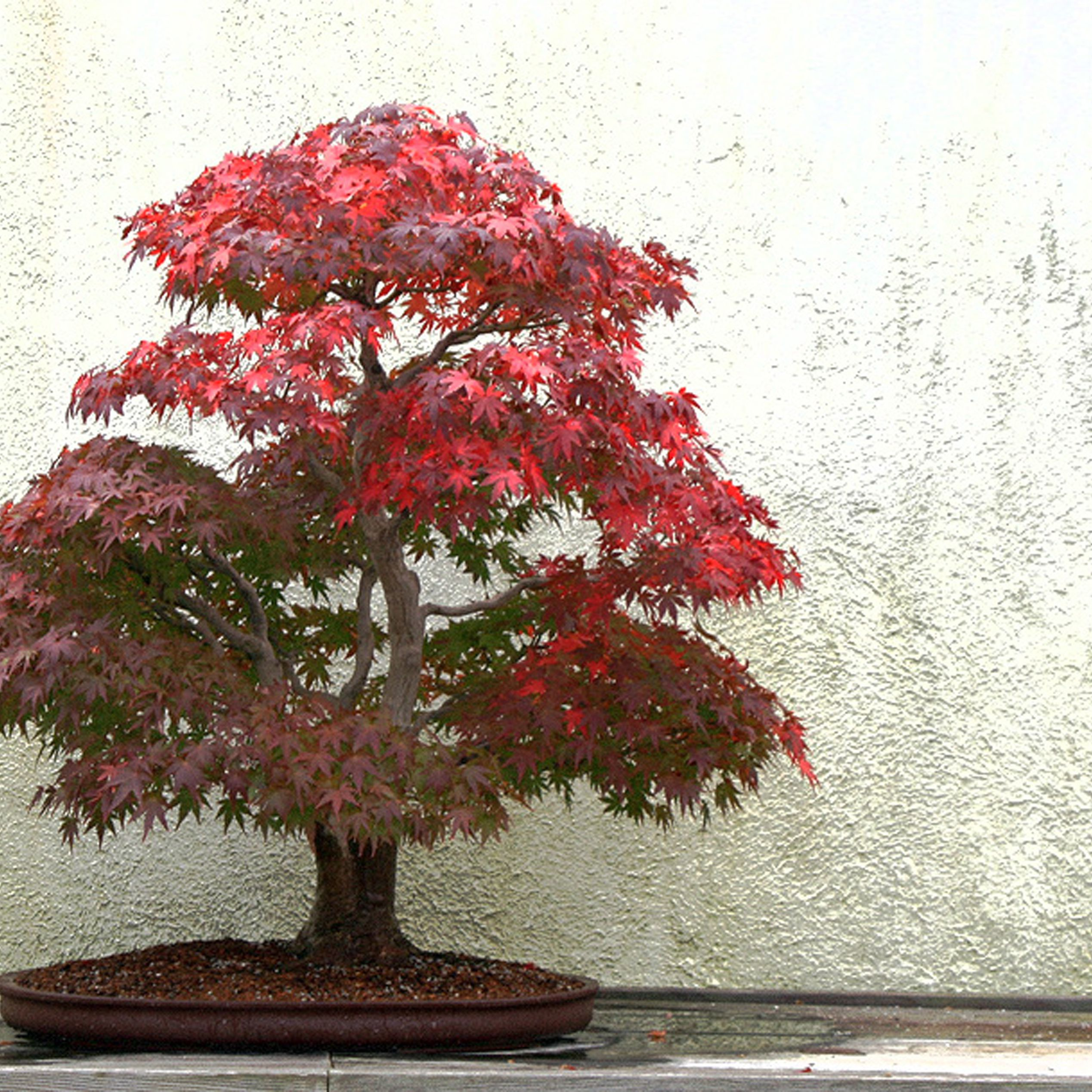 How To Grow And Care For Japanese Maple Bonsai