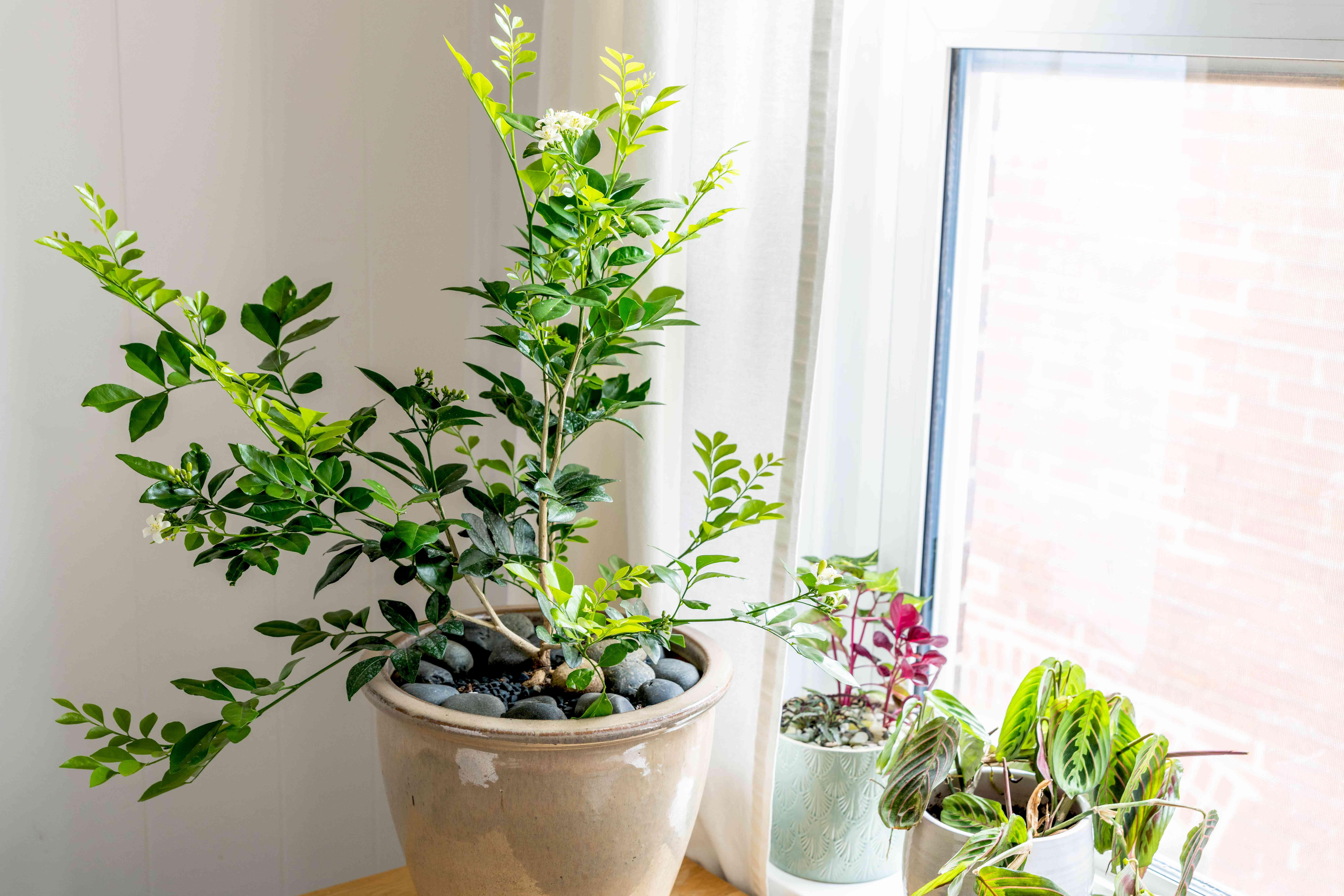 Orange jasmine in tan ceramic pot next ti window with other houseplants