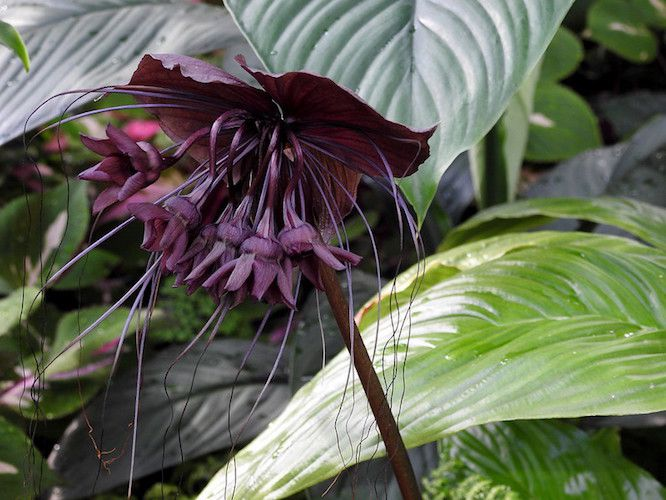 Deep purple bat flower among glossy large green leaves.