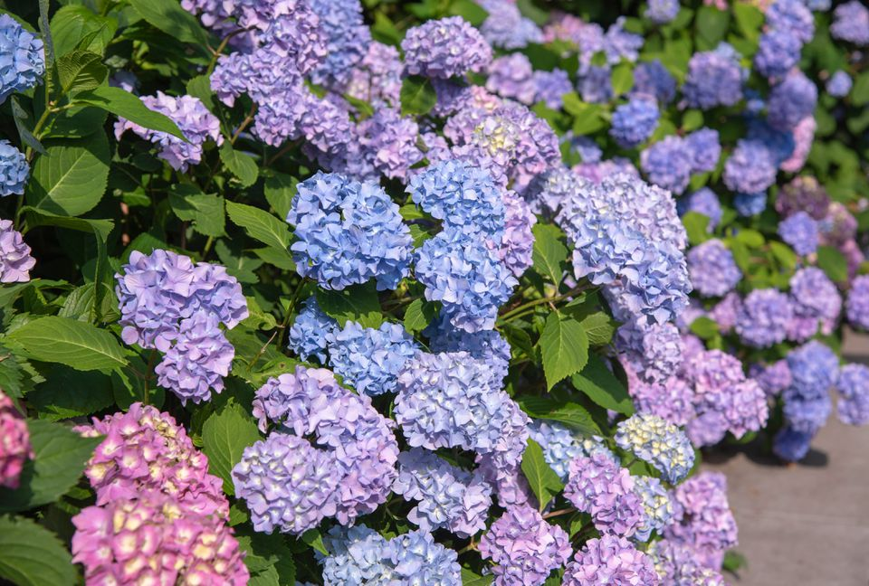 Mophead hydrangea shrub with ruffled clusters of purple, pink and blue flowers in sunlight
