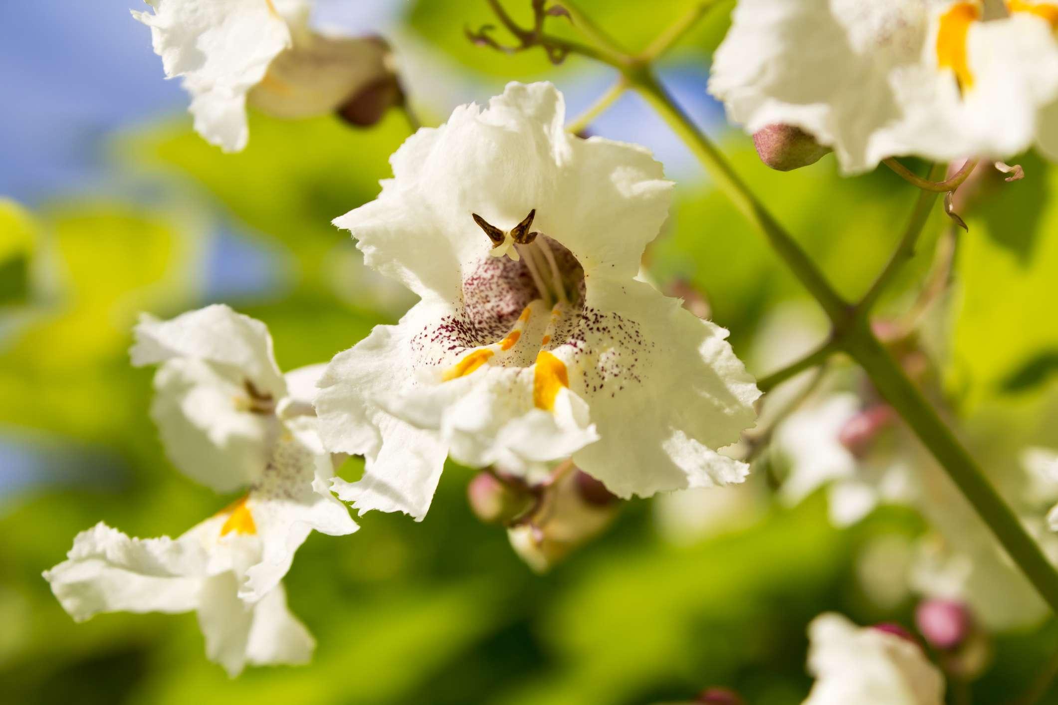 Flores de árbol de Catalpa