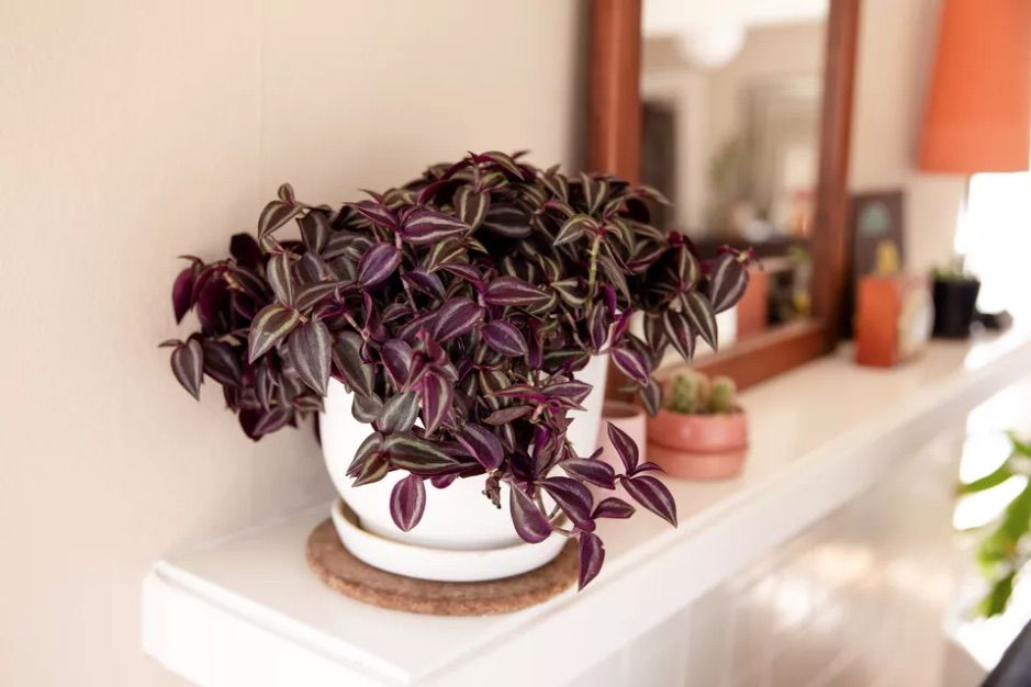 Spiderwort (Tradescantia) with dark purple leaves in a qhite pot on top of a white fireplace.