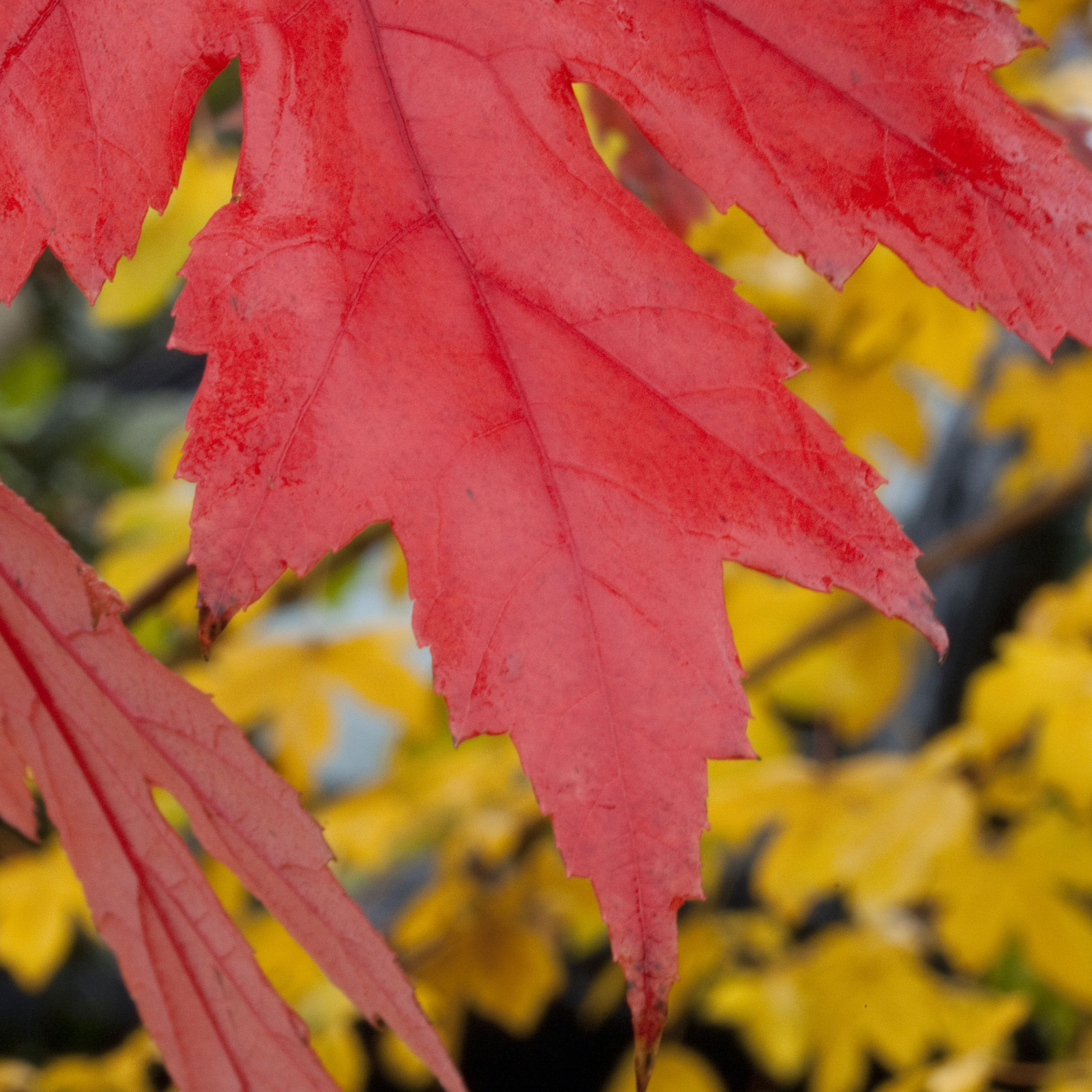 How To Grow And Care For Autumn Blaze Maple Trees