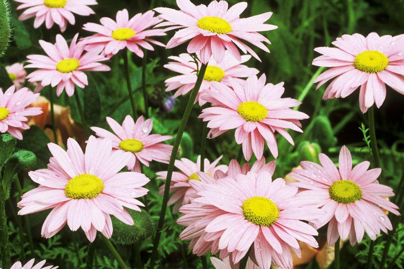 Selecting the right daisies for your flower garden izmirmasajfo