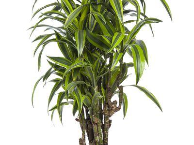 How To Grow A Dragon Tree Dracaena Marginata