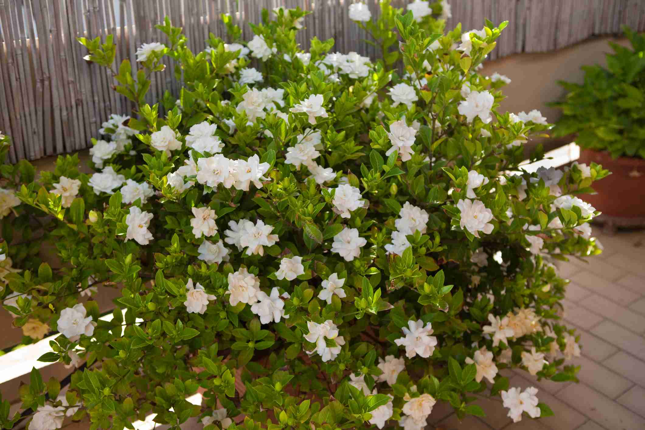Gardenia Shrub