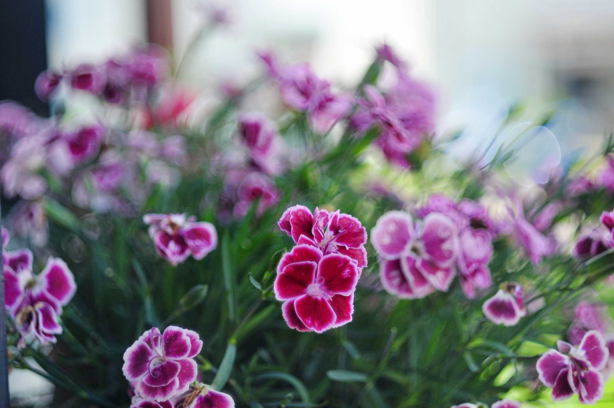 Cottage Pinks (Dianthus x allwoodii)