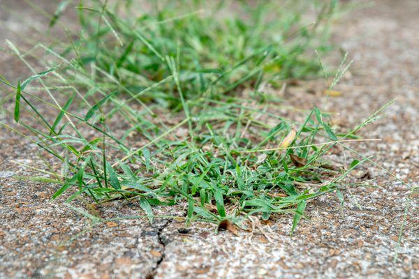Crabgrass growing in between concrete cracks
