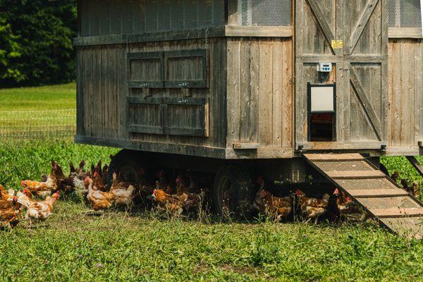 Wooden chicken coop with automatic door open and chickens walking underneath