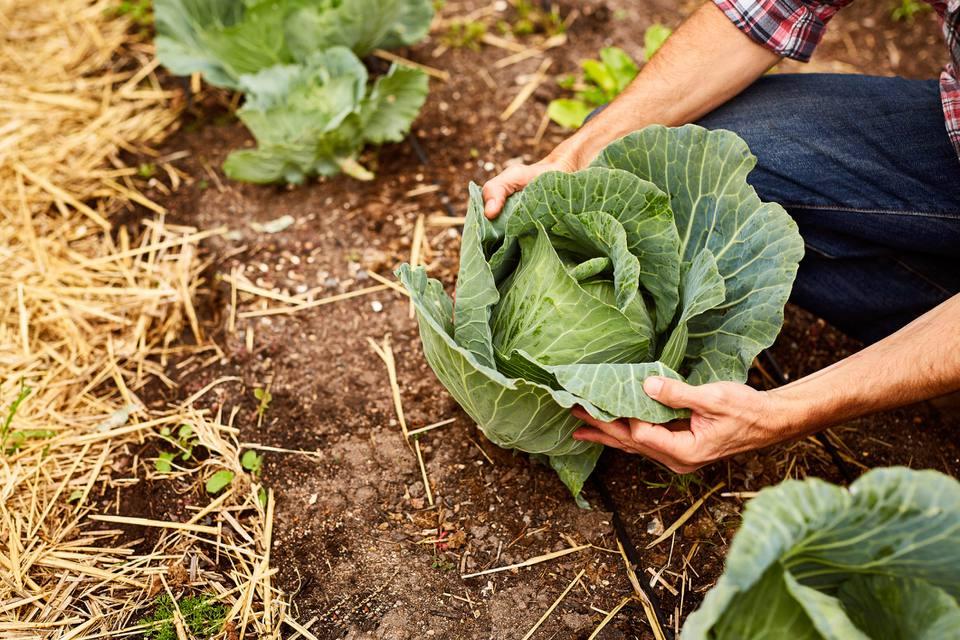 Holding Cabbage in Garden