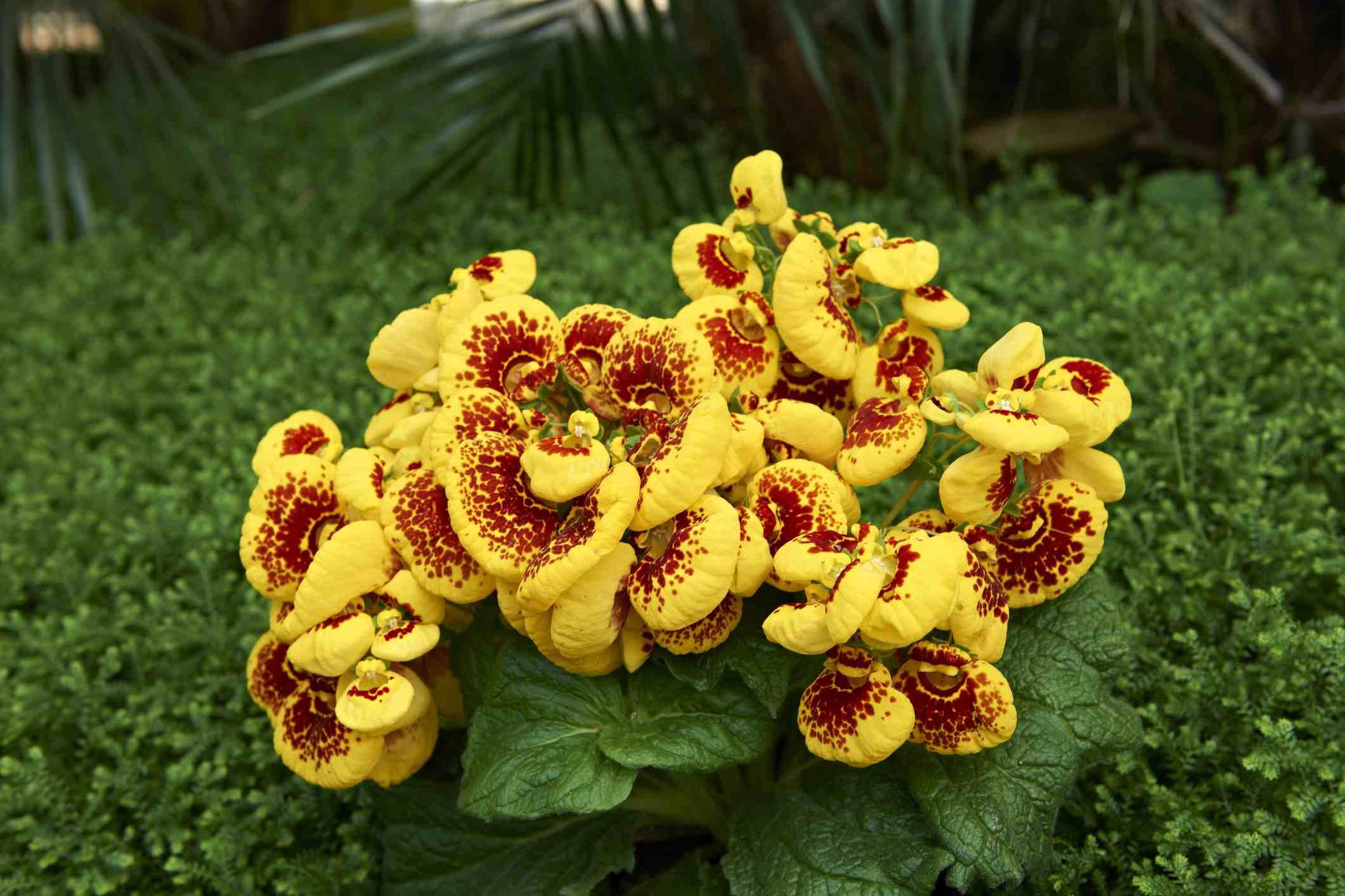 Calceolaria flowers