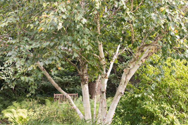 frontal shot of a birch tree