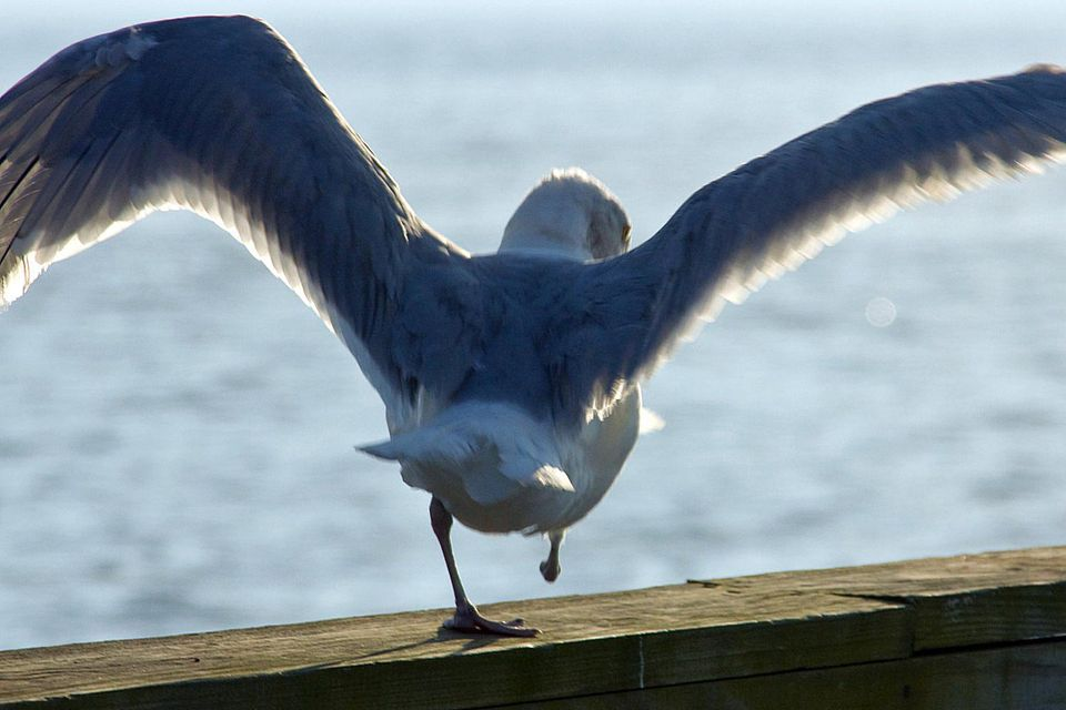 One-legged gull