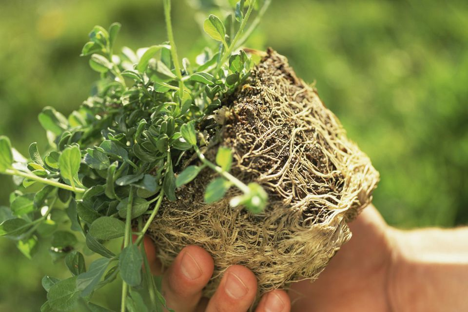 Holding pot-bound plant