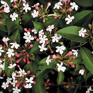 Fragrant Abelia