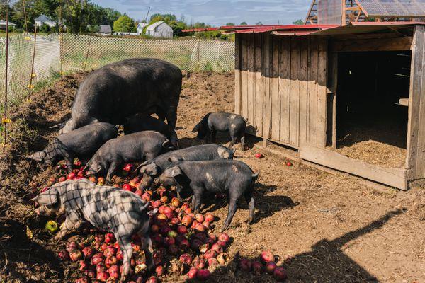 Black pigs eating red apples inside fenced in enclosure