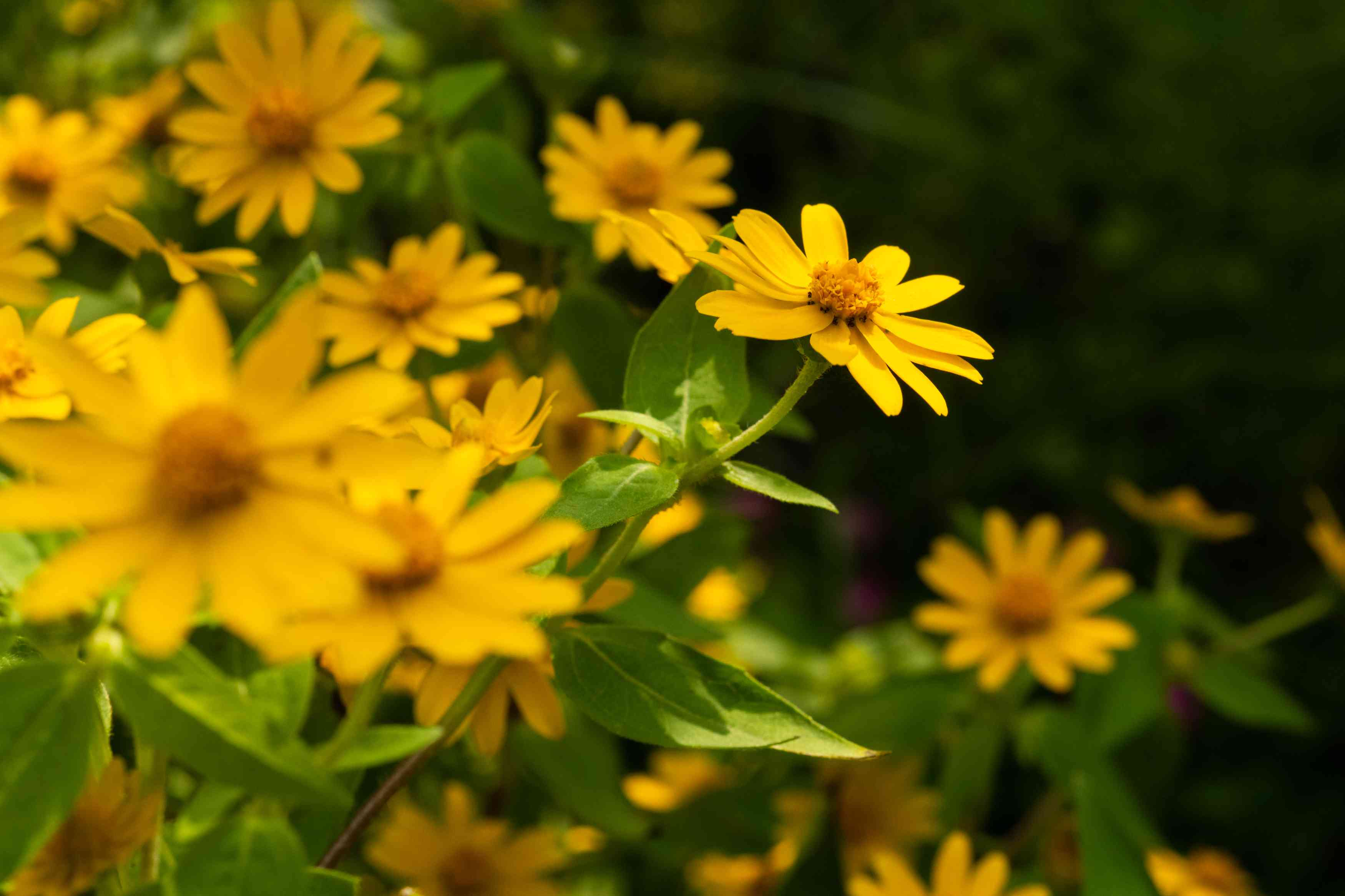 melampodium flowers