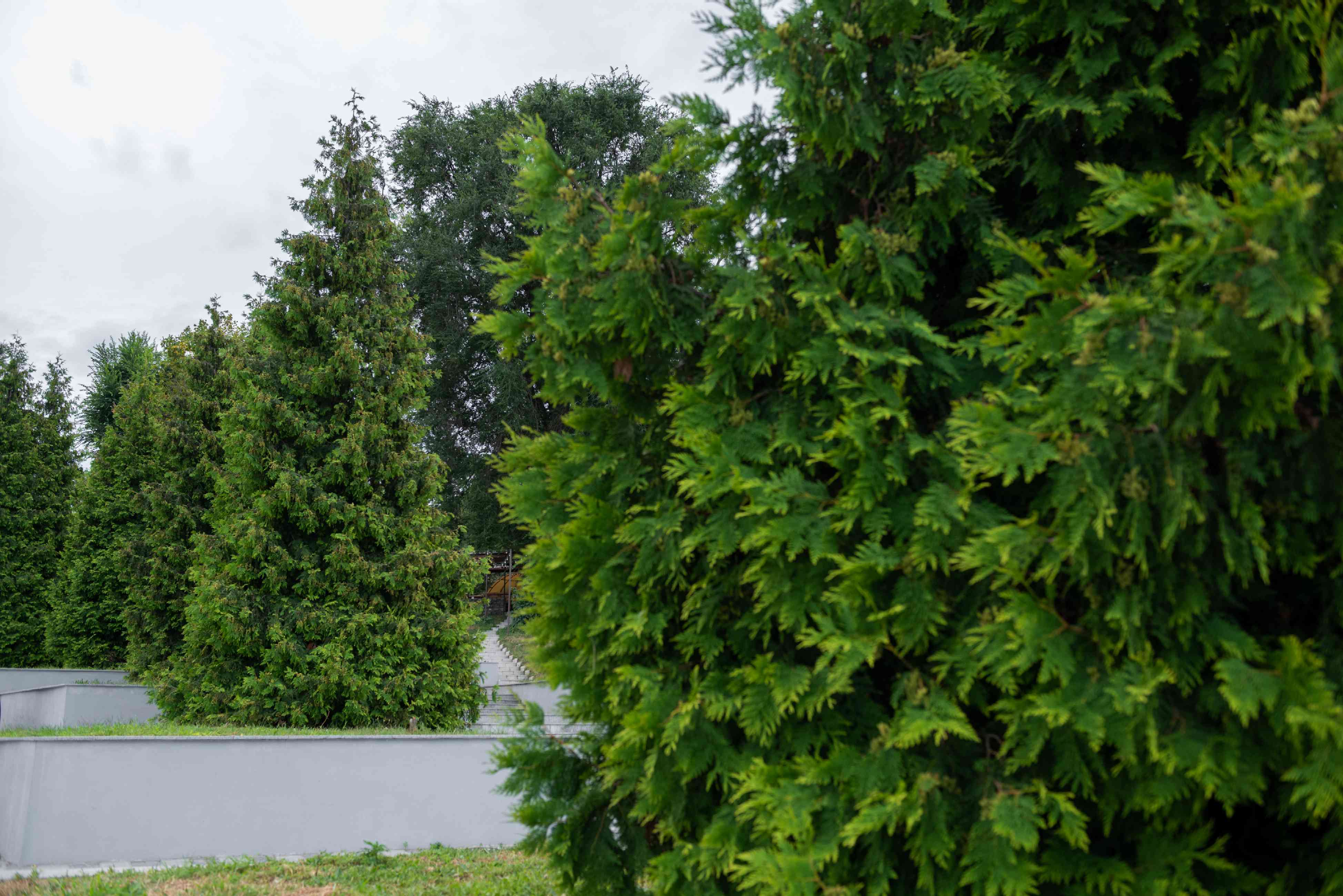 Giant arborvitae trees trimmed in triangular shapes on raised landscapes