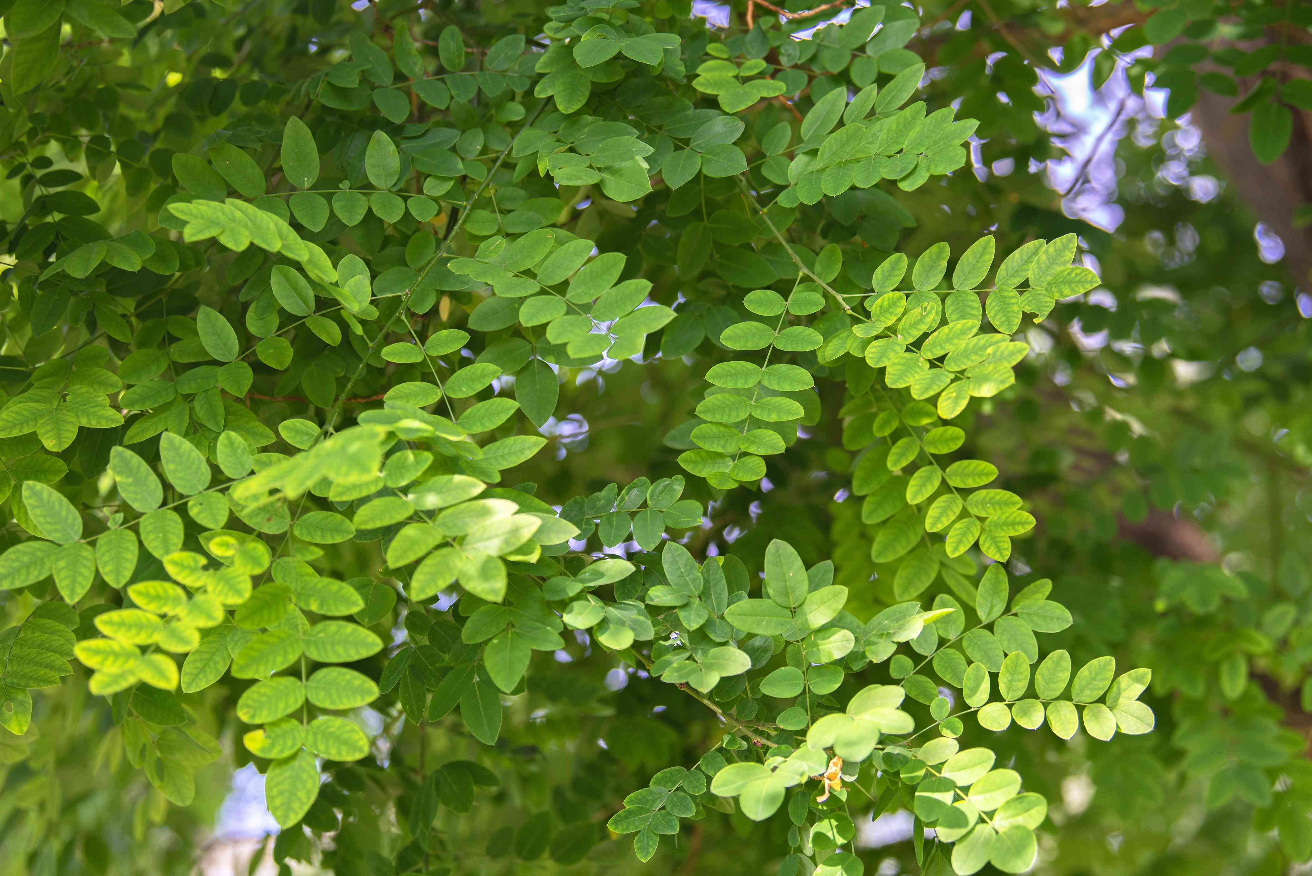 Japanese pagoda tree branches with small oval bright green leaves