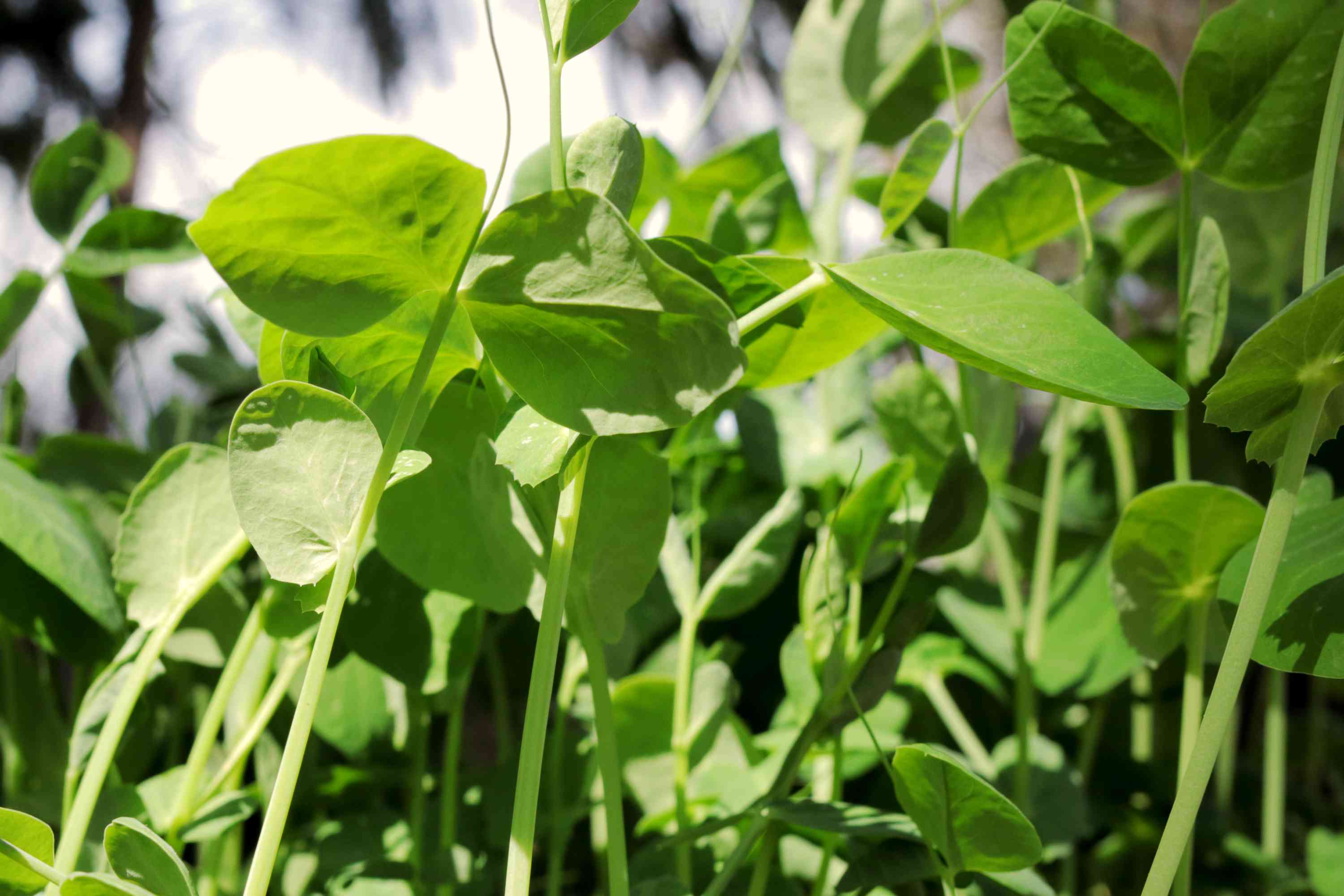 Pea shoots and tendrils growing in sunlight closeup