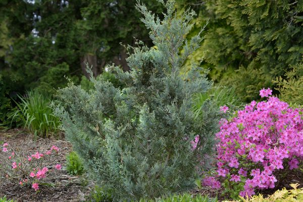 Rocky mountain juniper tree with blue-green leaves in front of pink flower bush