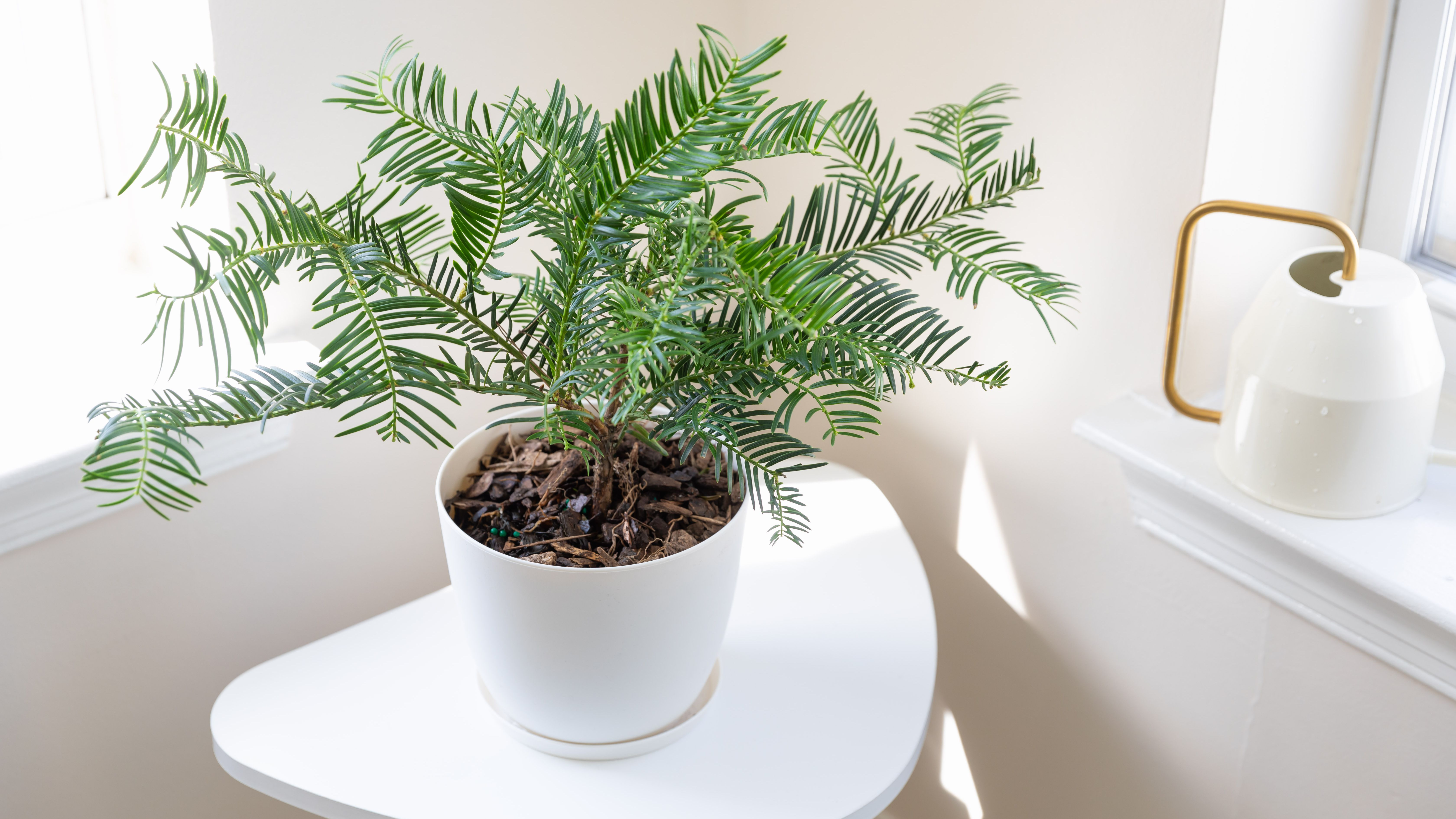 Tips For Growing Yew Pine Podocarpus Macrophyllus Indoors
