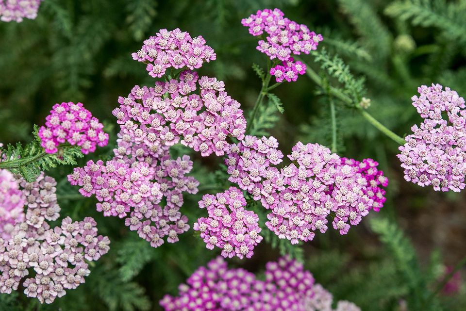 purple yarrow plants