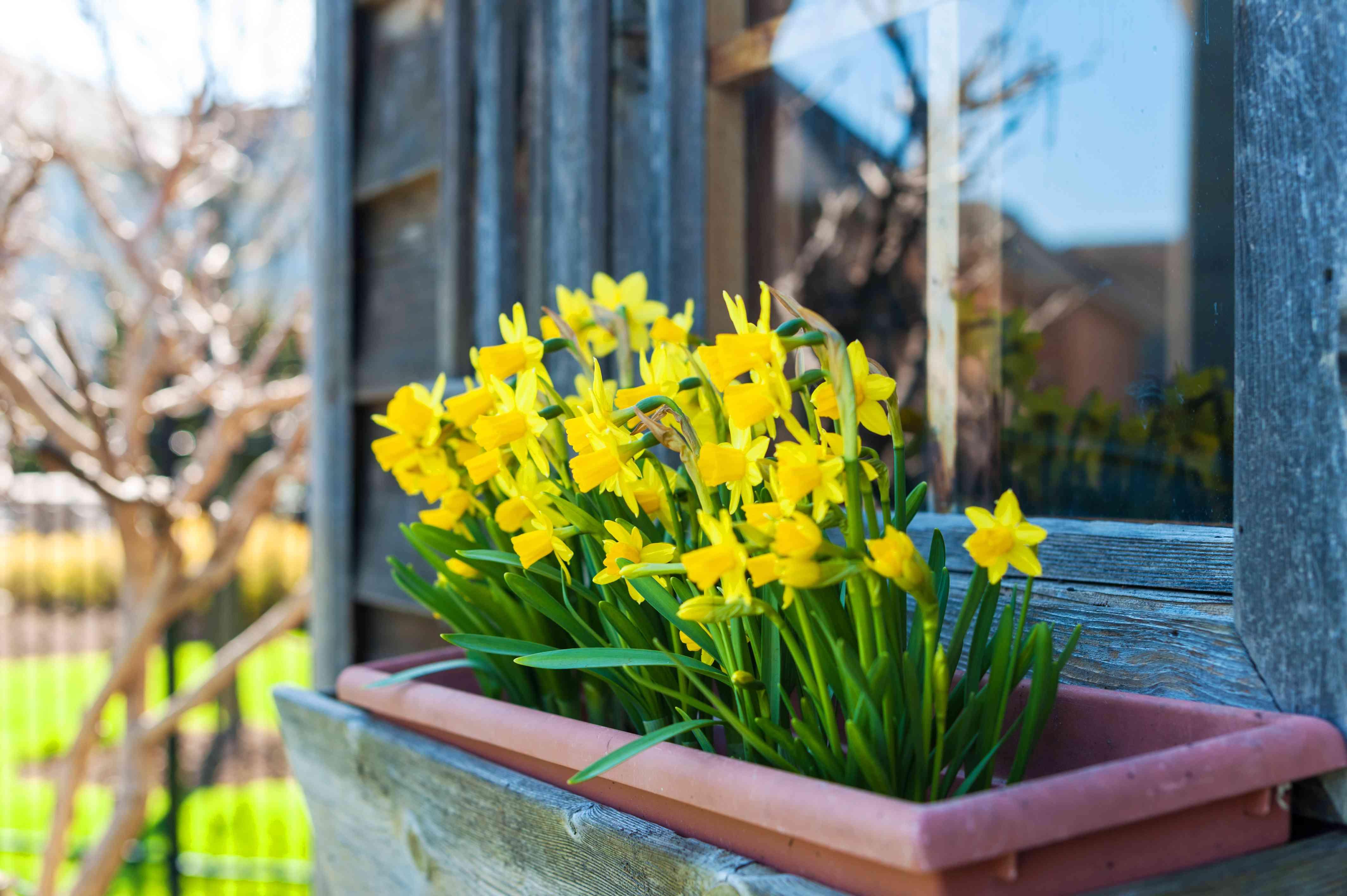 Daffodils in a window box