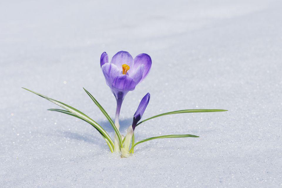 Azafrán mirando a través de la nieve