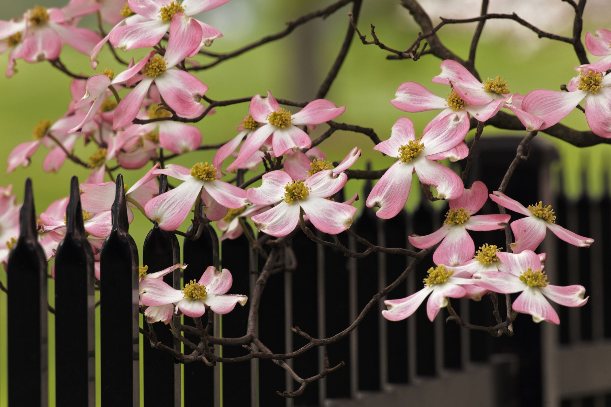 12 Species Of Dogwood Trees Shrubs And Subshrubs