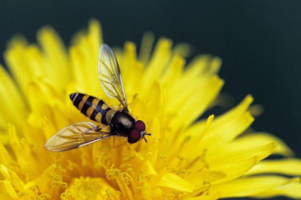 American hoverfly (Metasyrphus americanus/Eupeodes americanus)